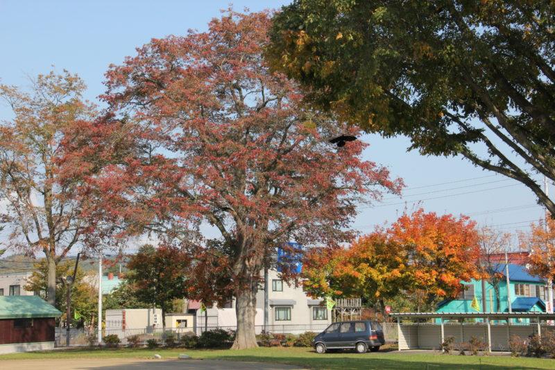 下川小学校のハルニレの木
